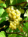 Wine from Chenin Grapes