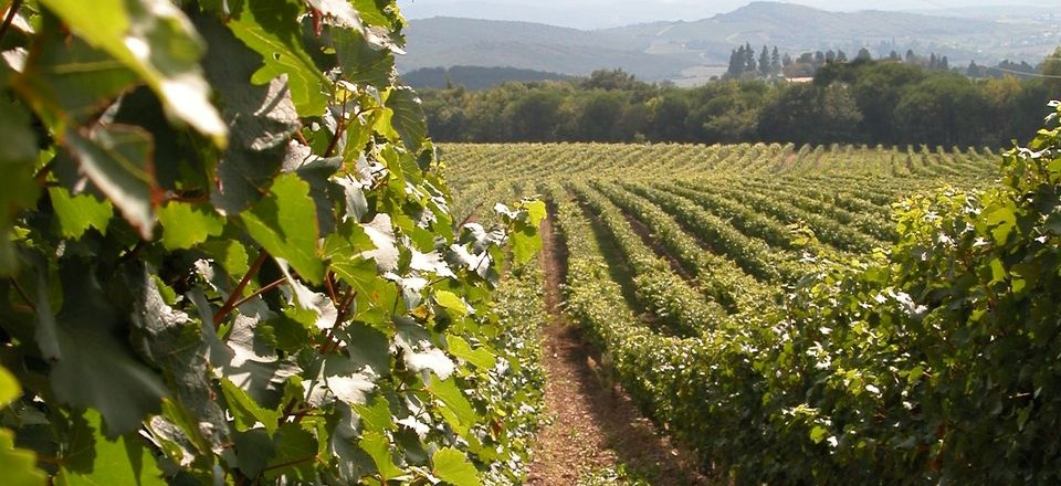 vineyard 6
