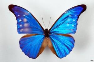 _76132132_z3551404-blue_morpho_butterfly-spl
